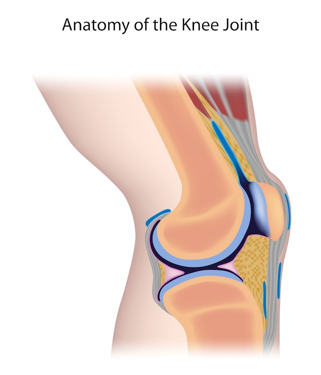 anatomisk fremvisning av kneet